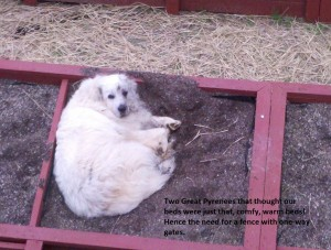 square foot gardening 10 Tucker the Great Pyrenees 300x227