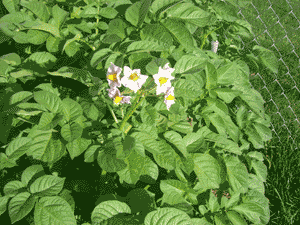 square foot gardening potatoes flower