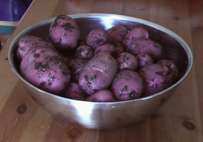 square foot gardening potatoes july
