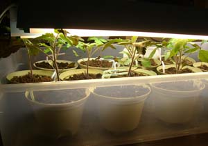 square foot gardening under lights