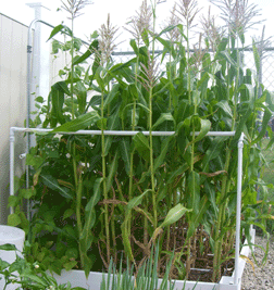 square foot gardening support corn
