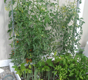 square foot gardening support tomatoes