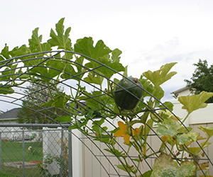 square foot gardening 2013 trellis pumpkin