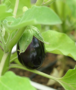 square foot gardening Eggplant 254x300