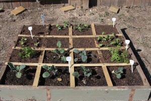 square foot gardening IMG 06452 300x200