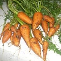 square foot gardening carrots2