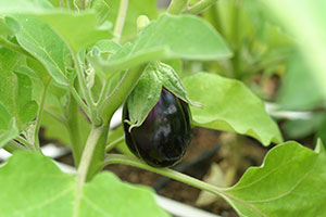 square foot gardening eggplant august 2012
