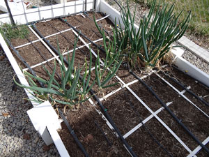 square foot gardening hardy onions
