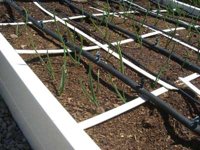 square foot gardening onions 6 inches